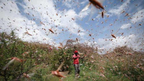 La sicurezza alimentare in Africa Orientale minacciata da miliardi di locuste
